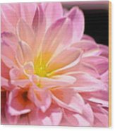 Light Pink Dahlia 1 Wood Print