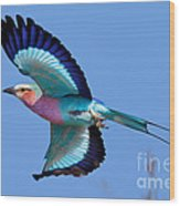 Lilac-breasted Roller In Flight Wood Print