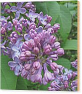 Lilac Buds And Blossoms Wood Print
