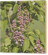 Lilac In Spring Wood Print