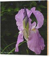 Lilac Siberian Iris Wood Print