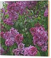 Lilacs At Hulda Klager Lilac Garden Wood Print