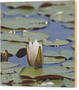 Lilly Pad With Bloom Wood Print