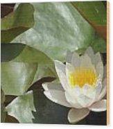 Lily Of Sydney Wood Print