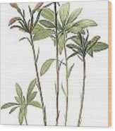 Lily Of The Incas Wood Print