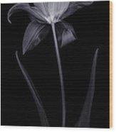 Lily Tulip Wood Print