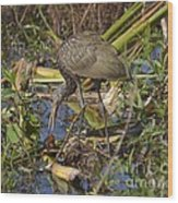 Limpkin With Lunch Wood Print