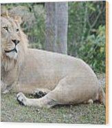Lion Around Wood Print