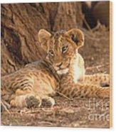 Lion Cub Panthera Leo Wood Print
