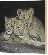 Three Lion Cubs Wood Print