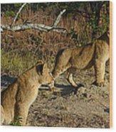 Lion Cubs Of Zimbabwe  Wood Print