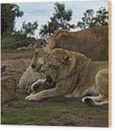 Lion - Get Off Me Wood Print
