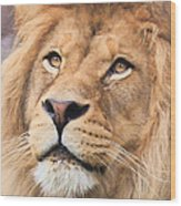 Lion In Deep Thought Wood Print