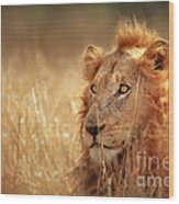 Lion In Grass Wood Print