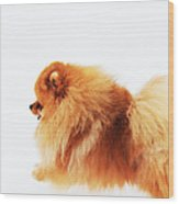 Lion On The Snow Wood Print