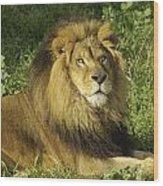 Lion Resting Wood Print
