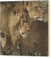 Lion Reunion Wood Print by Jamie Bishop