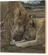 Lion Smooch Wood Print