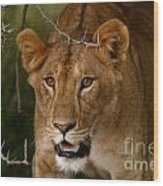 Lioness Wood Print by Alison Kennedy-Benson