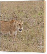 Lioness, Kenya Wood Print
