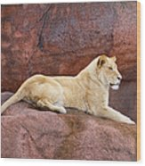 Lioness On A Red Rock Wood Print