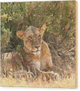 Lioness  Panthera Leo Resting Wood Print