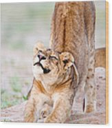 Lioness Panthera Leo Stretching Wood Print