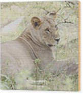 Lioness Relaxing Wood Print
