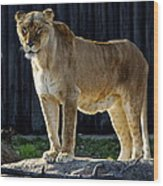 Lioness Wood Print by Frozen in Time Fine Art Photography