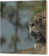 Lioness Voicing Opinion Wood Print