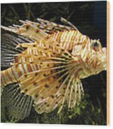 Lionfish Searching For Its Prey Wood Print