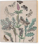 Liparidae - Notodonitdae Wood Print