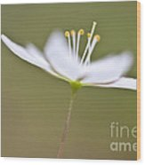 Little Arctic Starflower Wood Print