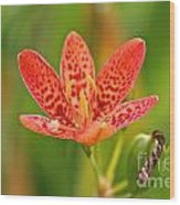 Little Blackberry Lilly Wood Print