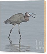 Little Blue Heron With Fish Wood Print