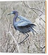 Little Blue In Rookery Louisiana Wood Print