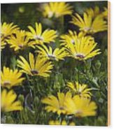 Little Field Of Yellow Daises Wood Print