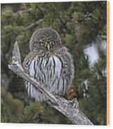 Little One - Northern Pygmy Owl Wood Print