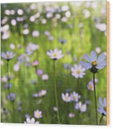 Little Pink Daisies  Wood Print