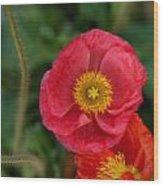 Little Pink Iceland Poppy Wood Print