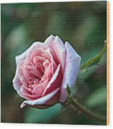 Little Pink Rose Wood Print
