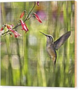 Little Queenie-calliope Hummer Wood Print by Dana Moyer