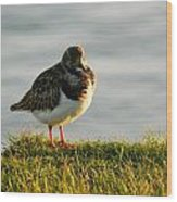 Little Turnstone Wood Print by Sharon Lisa Clarke