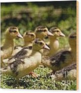 Yellow Muscovy Duck Ducklings Running Fast  Wood Print