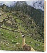 Llama At Machu Picchu Wood Print