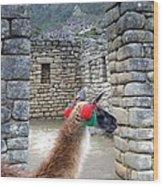 Llama Touring Machu Picchu Wood Print