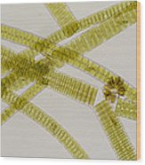 Lm Of The Colonial Diatom Fragillaria Sp. Wood Print by Power And Syred