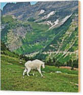 Logan Pass Mountain Goat Wood Print