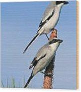 Loggerhead Shrike Pair Wood Print