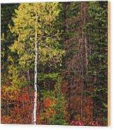 Lone Aspen In Fall Wood Print